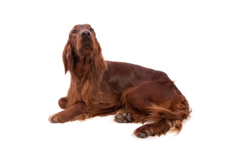Irish Setter isolated on white Stock Photo - 13347993
