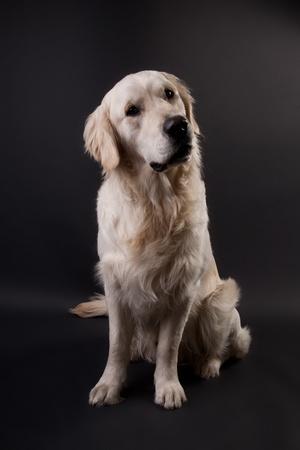 big dog: Golden Retriever on a black background