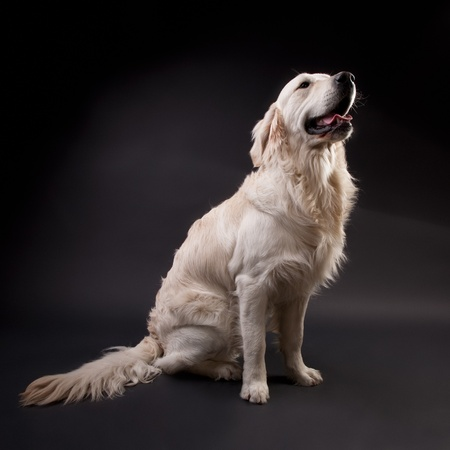 Golden Retriever on a black background