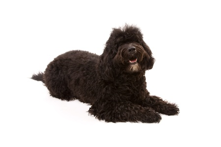 Black dog isolated on white Stock Photo - 13347976