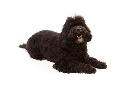 Black dog isolated on white Stock Photo - 13347976