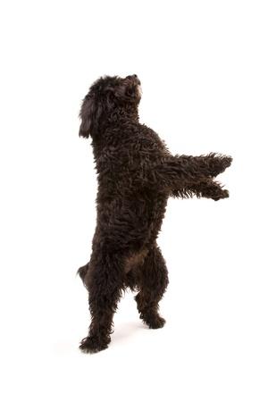 Black dog dancing - isolated on white Stock Photo