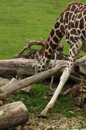beine spreizen: Giraffe mit gespreizten Beinen beim Essen