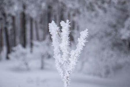 Frozen branch, white winter background, cold