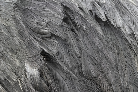 Close up of ostrich feathers