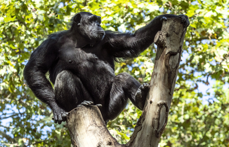 Gorilla sitting on a tree