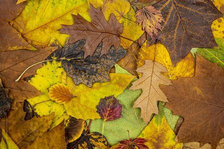 Fallen, colorful, autumn leaves background 版權商用圖片 - 132371495