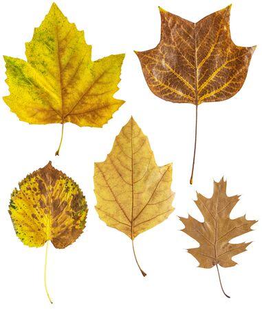 Set of autumn leaves isolated on white back 版權商用圖片 - 136108493