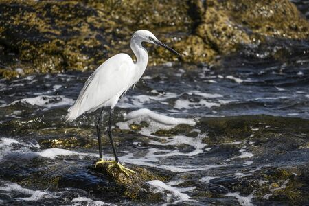 White Egret standing on a shore, hunting for food