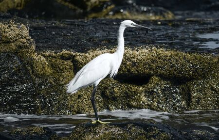 White Egret standing on a shore, hunting for food 版權商用圖片 - 141086061