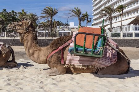 Camel waiting for passengers in front of a hotel 版權商用圖片