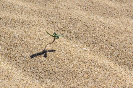 Small germinating plant in the sand