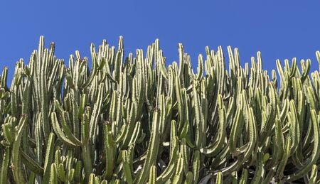 Cacti covering most of the image against blue sky
