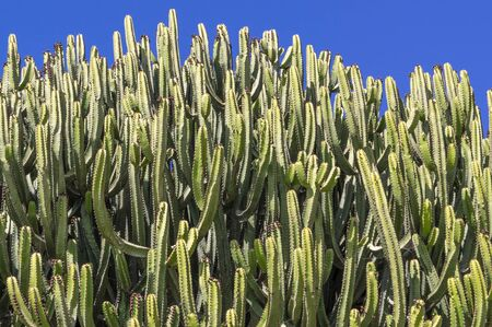 Cacti covering most of the image against blue sky 版權商用圖片 - 140457695