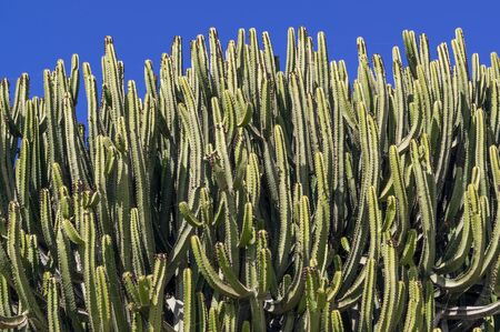 Cacti covering most of the image against blue sky 版權商用圖片 - 140457370