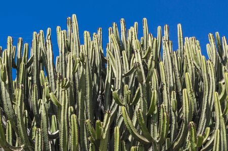 Cacti covering most of the image against blue sky 版權商用圖片 - 140455659