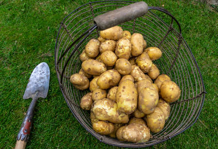 Freshly harvested new potatoes drying in old metal basket