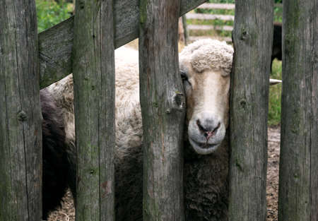Close up on a sheep looking through old, wooden fence