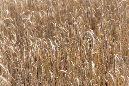 Close up of field of rye 版權商用圖片 - 152864259
