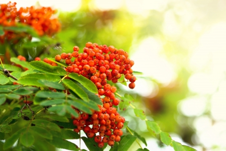 Rowan berries of an European mountain ash or Sorbus aucuparia in latin
