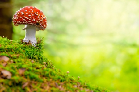 Fly Agaric, red and white poisonous mushroom in the forest photo