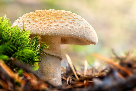 Mushroom, a False Death Cap or Citron Amanita in the forest - Amanita Citrina photo