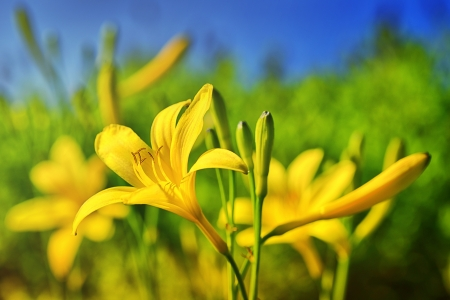 Yellow Day Lily or Hemerocallis photo