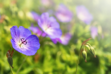 palustre: Geranium  Rozanne
