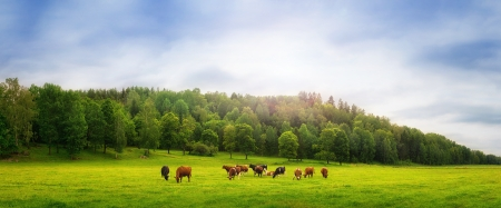 Cows on a field photo