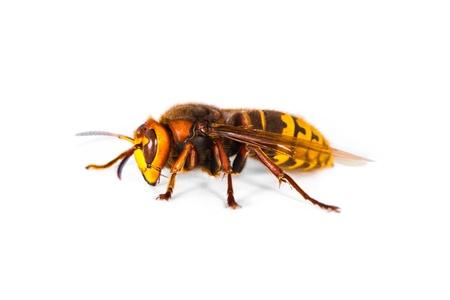 白い背景の上の生きているヨーロッパのスズメバチ ベスパ用いてのクローズ アップ