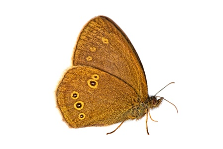 Butterfly isolated on white - Aphantopus Hyperantus - Macro photo