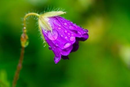 bellflower: Waterdrops on a Spreading Bellflower - Campanula Patula
