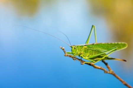 saga: A Long Horned Grasshopper on a branch with the sea as backdrop, image from sweden.