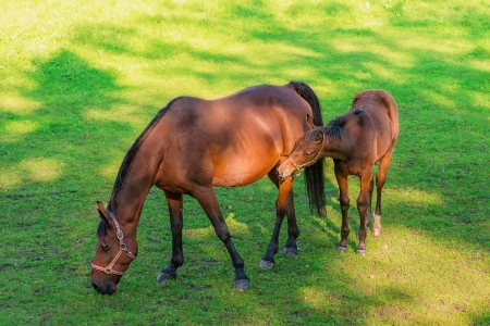 Two horses eating grass photo