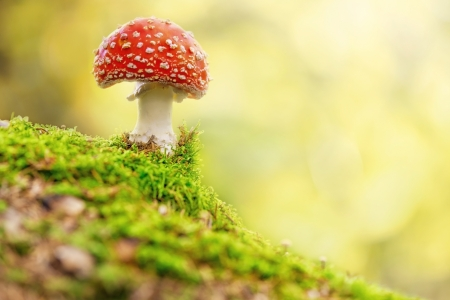 Fly Agaric or toadstool in forest Foto de archivo