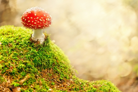 Fly Agaric in the forest photo