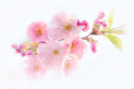Cherry blossoms on a bright background