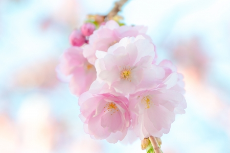 Japanese flowering cherry in a cluster - Prunus Serrula on bright background