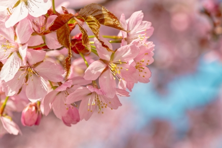 accolade: Japanese flowering cherry on a cluster with buds - Prunus Accolade on bright background Stock Photo