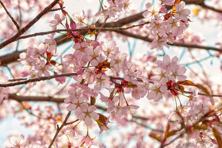 accolade: Japanese flowering cherry twigs with buds - Prunus Accolade on bright background Stock Photo