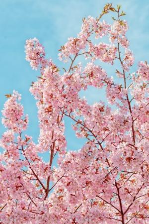 accolade: Japanese flowering Cherrytree - Prunus Accolade on bright blue sky
