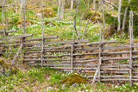 Traditional Swedish wooden fence with Wood Anemone
