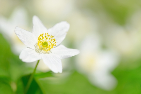Closeup of a Wood Anemone  Anemone Nemorosa