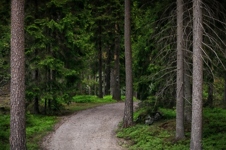 evergreen forest: Hiking path in a evergreen forest during spring Stock Photo