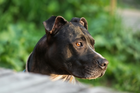 intresting: Amstaff or pitbull looking at something intresting in nature Stock Photo