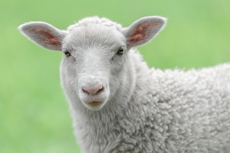 Face of a white lamb looking at you with bright green background Stockfoto