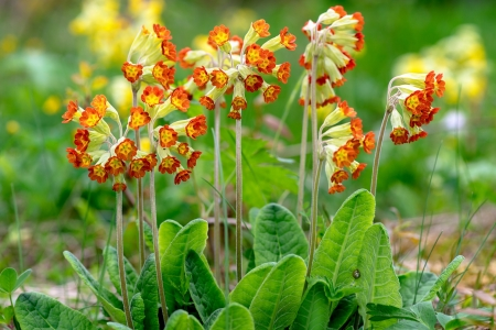 Red-flowered Primula Veris plants or Cowslip, Sweden photo