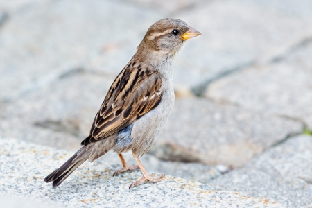 domestics: A female sparrow sitting on the ground  Passer domesticus