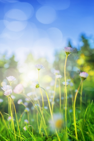 Small daisies in low angle backlight during summer Stock Photo