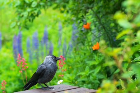Jackdaw  Corvus monedula  in a green garden during summer